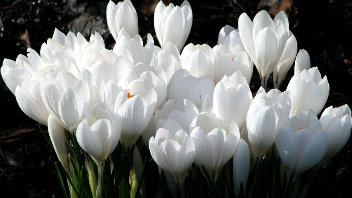 VLačnově a okolí rozkvetly tisíce květů vzácného šafránu bělokvětého