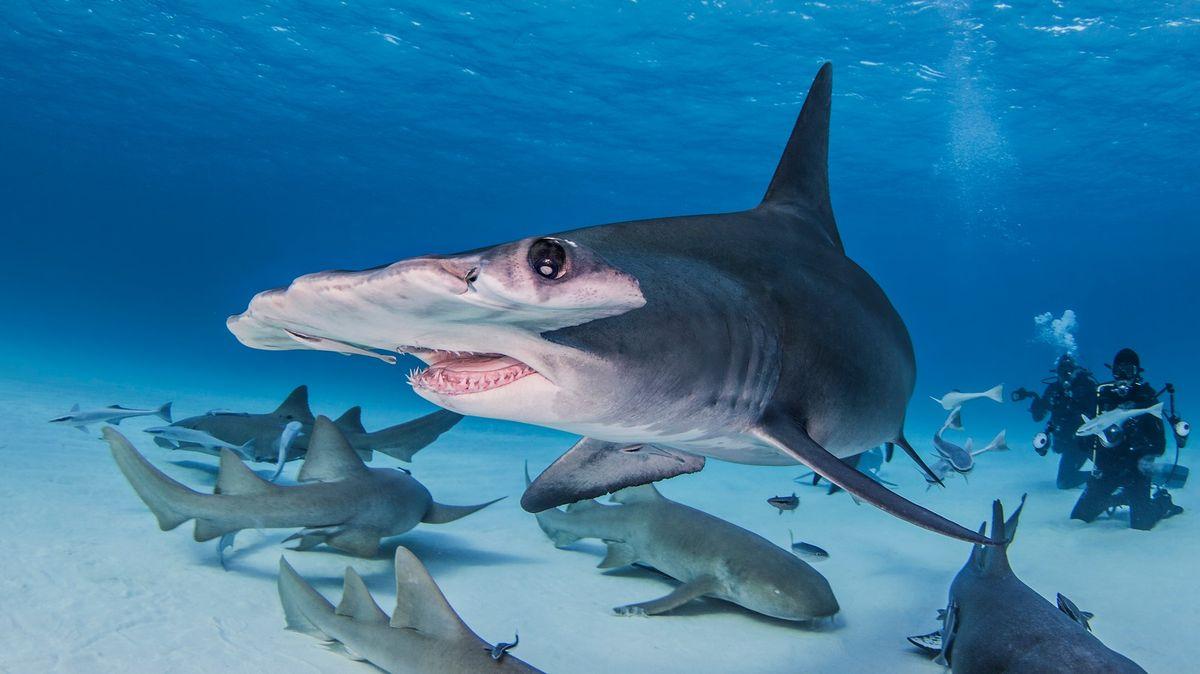 Čtvrtině žraloků hrozí vyhynutí, může za to děsivější predátor