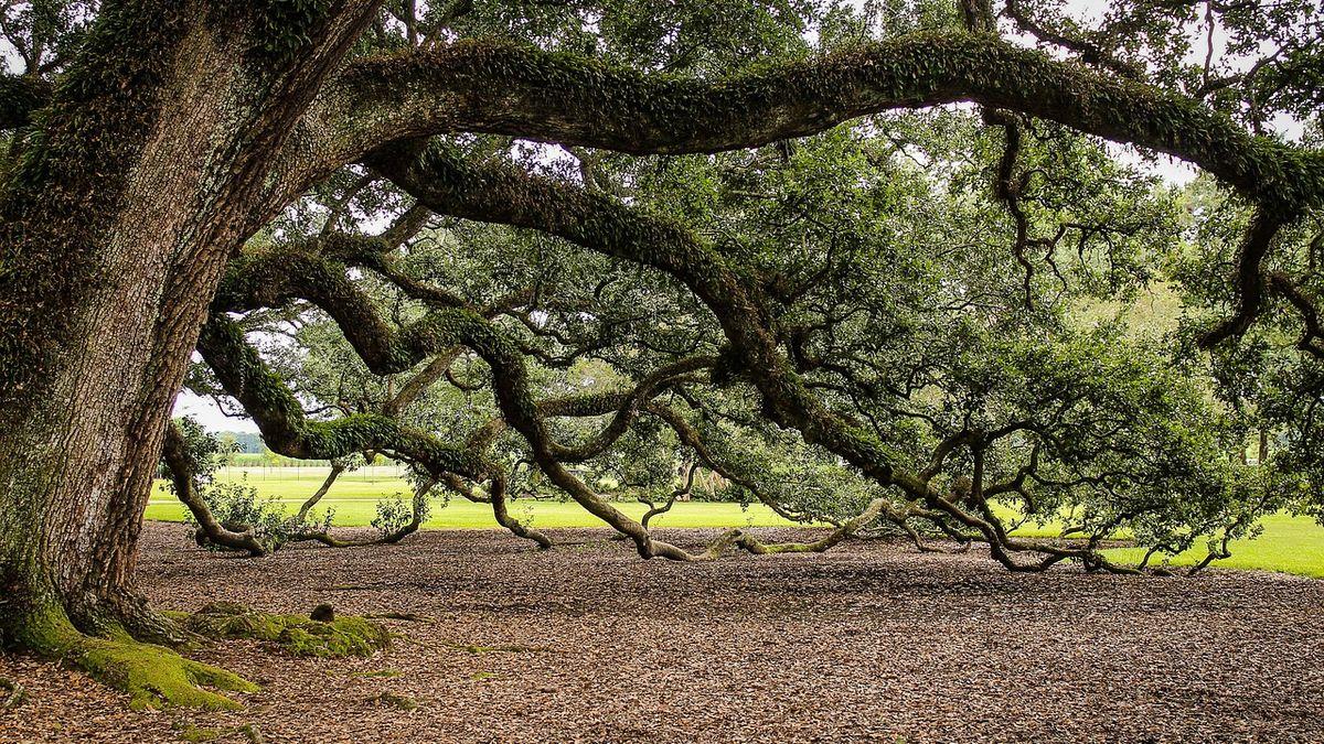 Doupné stromy lze najít ivcentru Brna, podle ekologů by jich ale mohlo přibýt