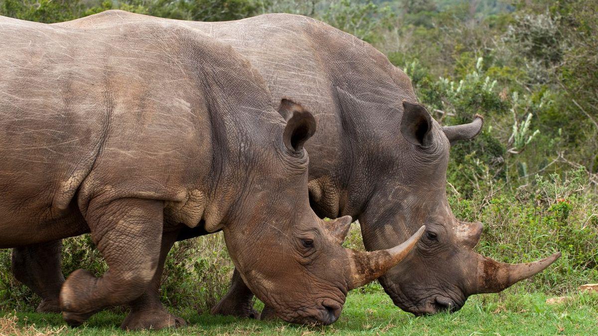 Pozitiva pandemie. Před pytláky ochránila stovky jihoafrických nosorožců