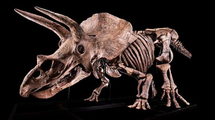 Největší triceratops jde do dražby. Vyvolávací cena je 1,2milionu eur