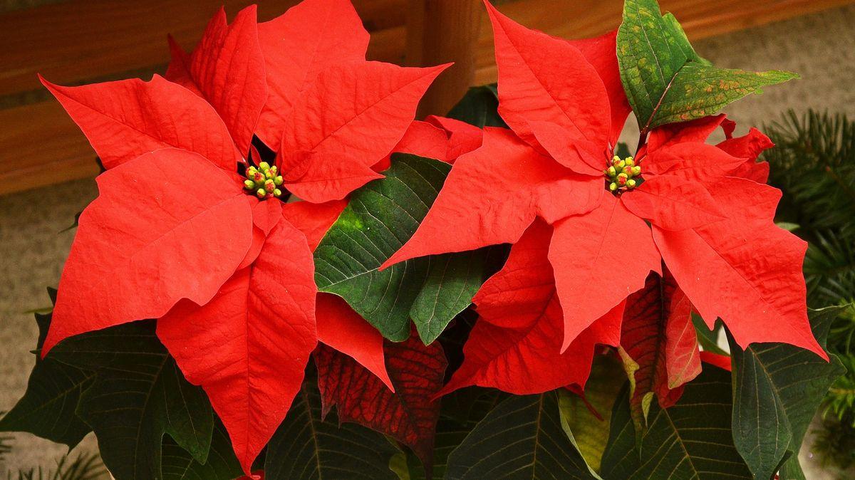 Vánoční hvězda jako symbol Vánoc. Víte, odkud pochází a jak se oni starat?