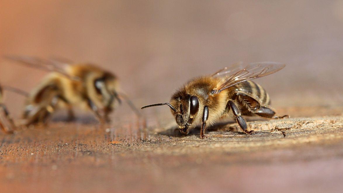 Včely vymírají. Zachránit je má Velký bratr vúlu
