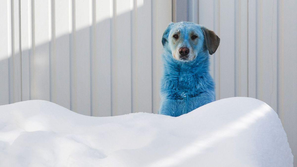 Fotky: Záhadně zbarvení psi se potulují Ruskem