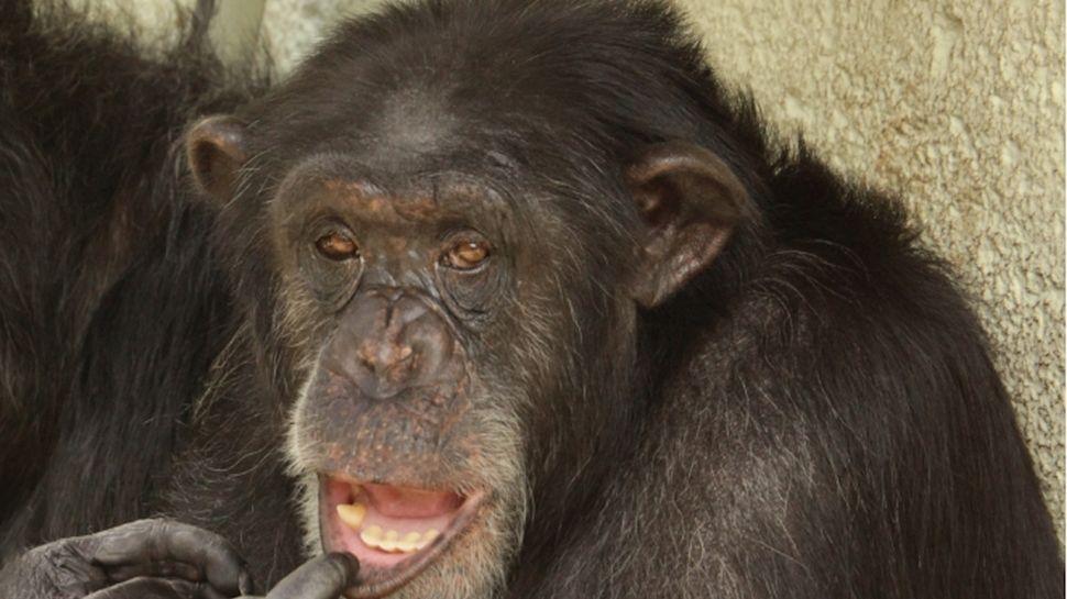 Vplzeňské zoo uhynul samec šimpanze Bask, bylo mu 28let, měl slabé srdce