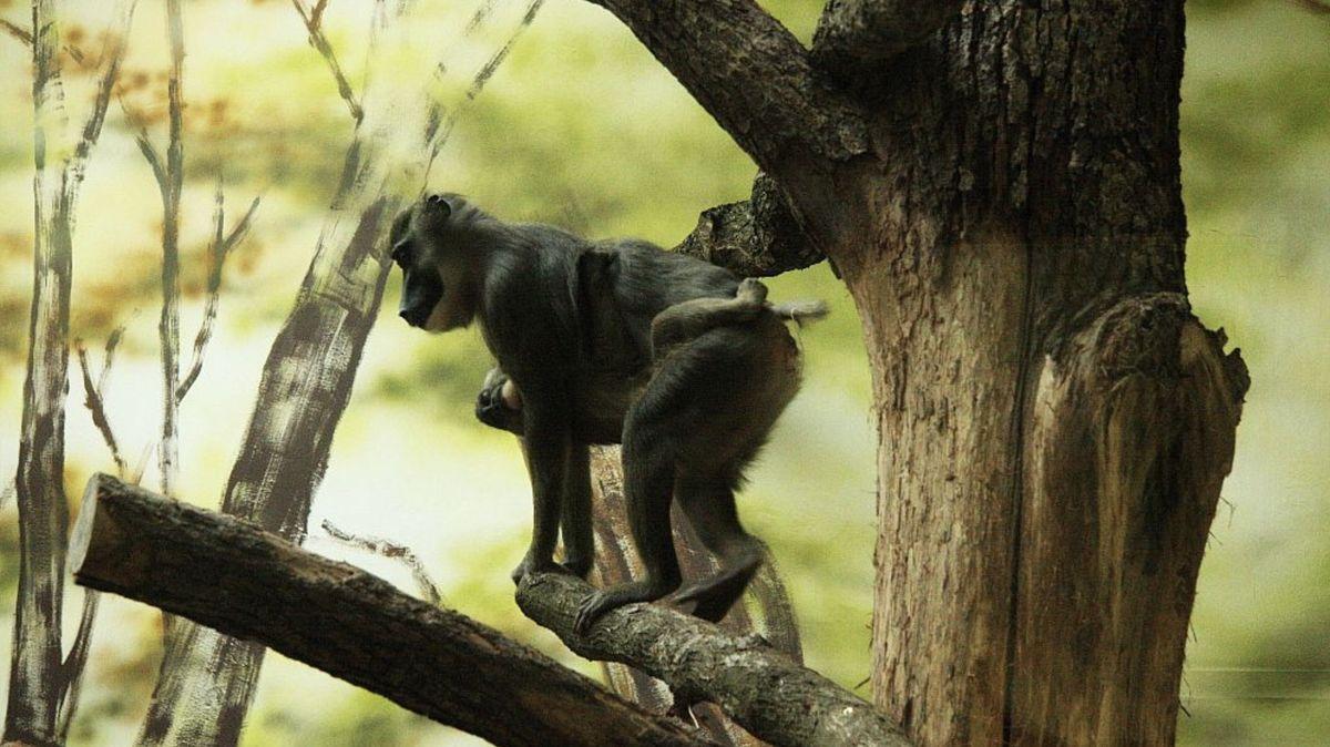 Zoo Dvůr staví expozici Jihozápadní Afrika, budou vní itučňáci