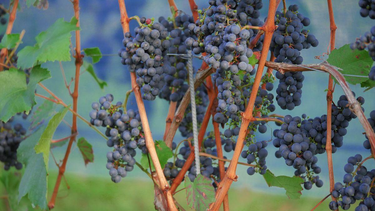 Vinařství Víno Zlomek & Vávra finišuje svinobraním, letos později