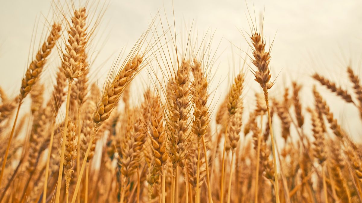 Pokus schválen. Británie oseje vEU zakázanou geneticky upravenou pšenici