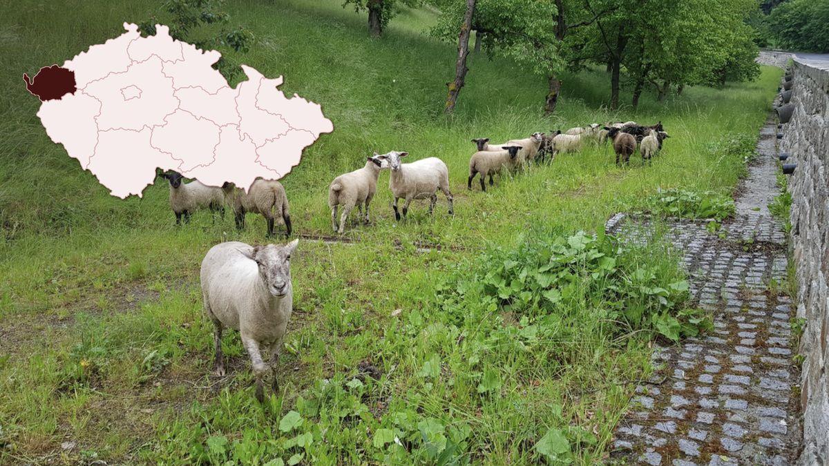 Další ekologický krok. Do sadů pustili vKarlových Varech místo sekaček ovce