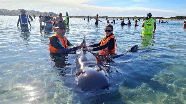 Video: Na pláži na Novém Zélandu uvázlo 49kulohlavců, část jich zachránili