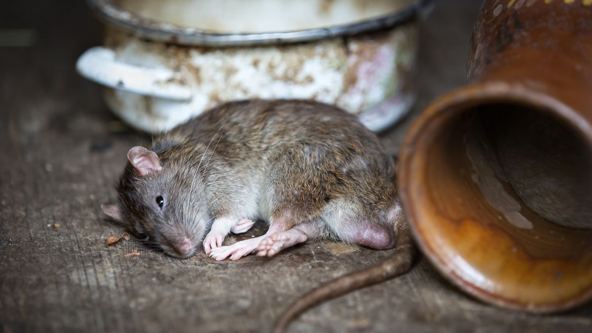 VJihlavě je nejvíc potkanů na sídlištích, ve středověkém podzemí nemají potravu