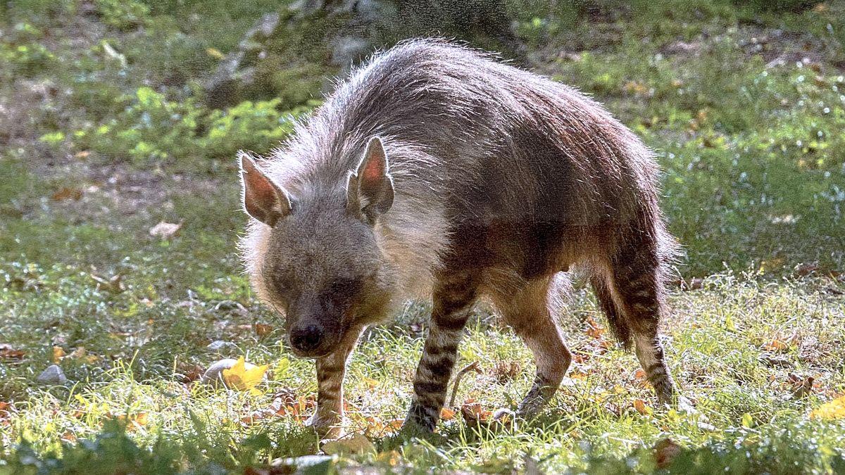 Dnes je Světový den svobody tisku. Seznam Zprávy adoptovaly hyenu