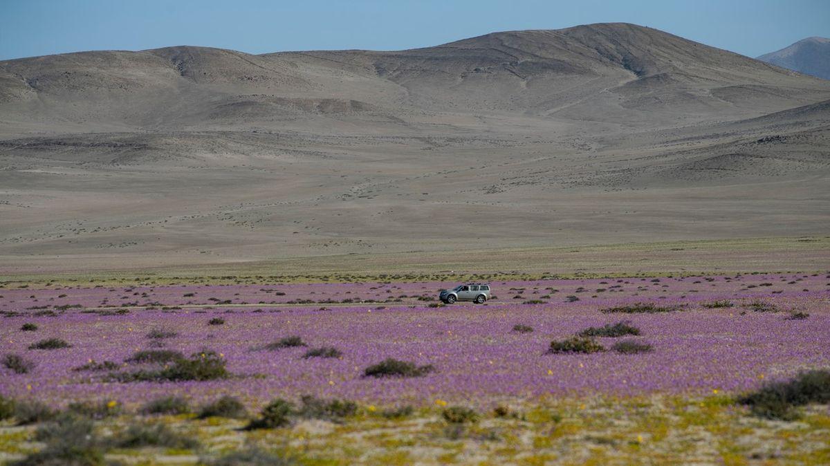 Nejsušší poušť světa rozkvetla. Podívejte se