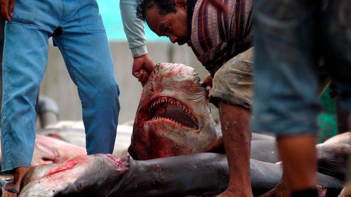 Zoceánů mizí žraloci a rejnoci. Velikost úbytku vědce šokovala