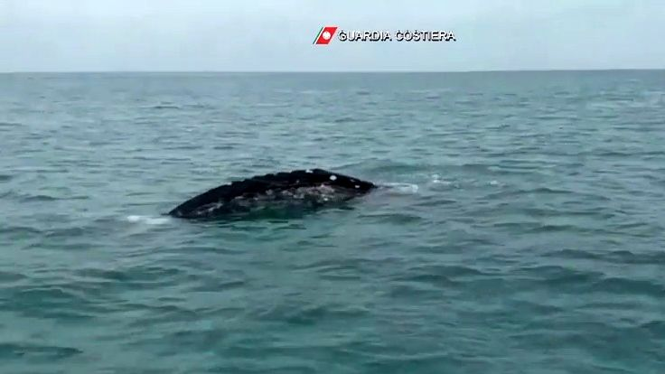 Video: Po 300letech se ubřehů Itálie objevila vzácná velryba