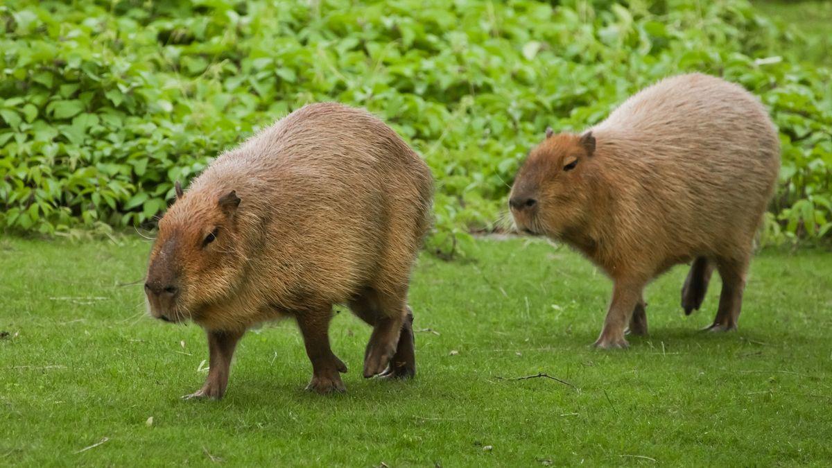 Obří hlodavci vs. argentinští boháči. Kapybary obsadily bohatou čtvrť