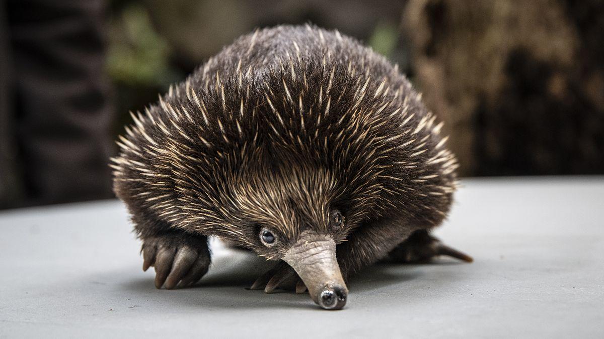 Foto: Vpražské zoo dnes poprvé představili mládě ježury. Je to Vrána!