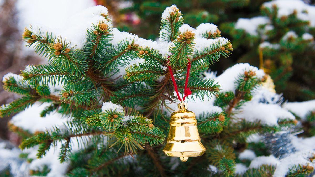 Pražští lesníci vypěstovali jedle, které lze po Vánocích zasadit