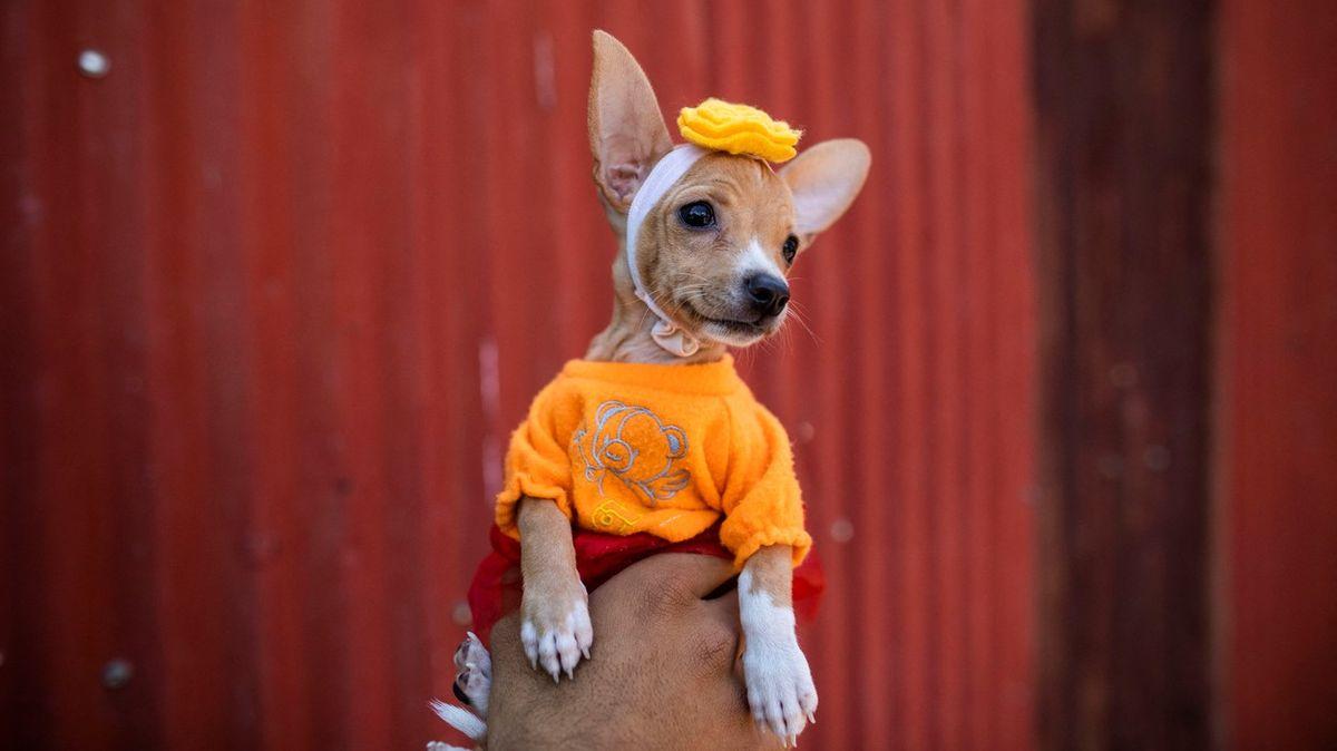 Psa do gala a pro požehnání. Fascinující oslavy sv. Lazara vNikaragui