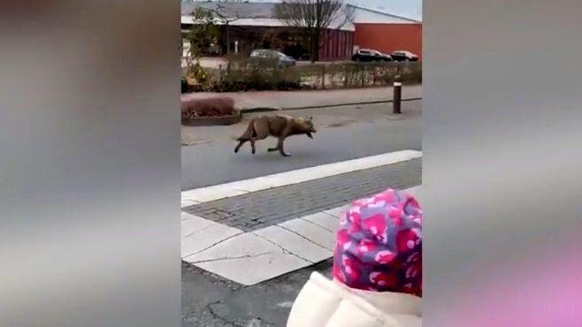 Video: Vlk si zašel do Lidlu, video zNěmecka se stalo hitem