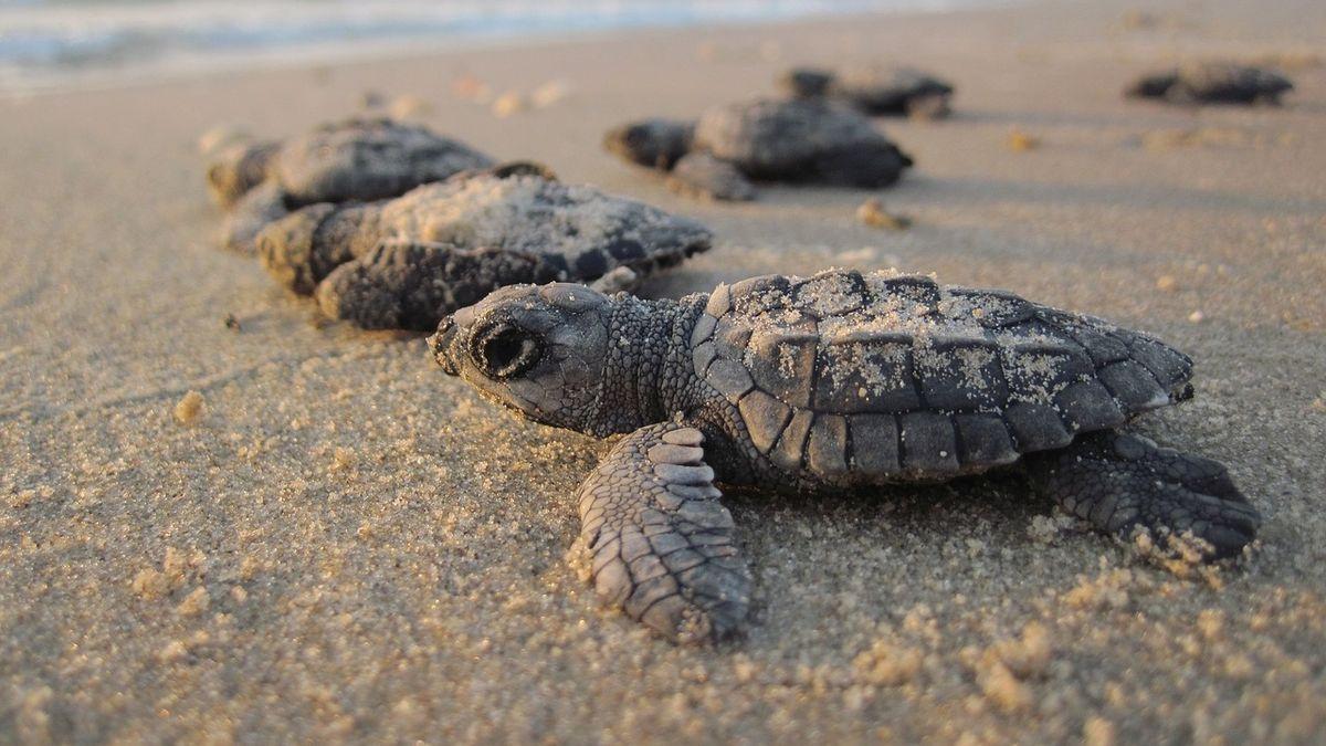 Makety z3D tiskárny pomáhají rozbíjet černý trh svejci ohrožených želv