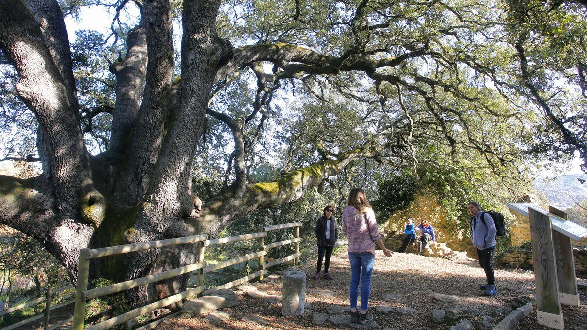 Strom čarodějnic je Evropským stromem roku