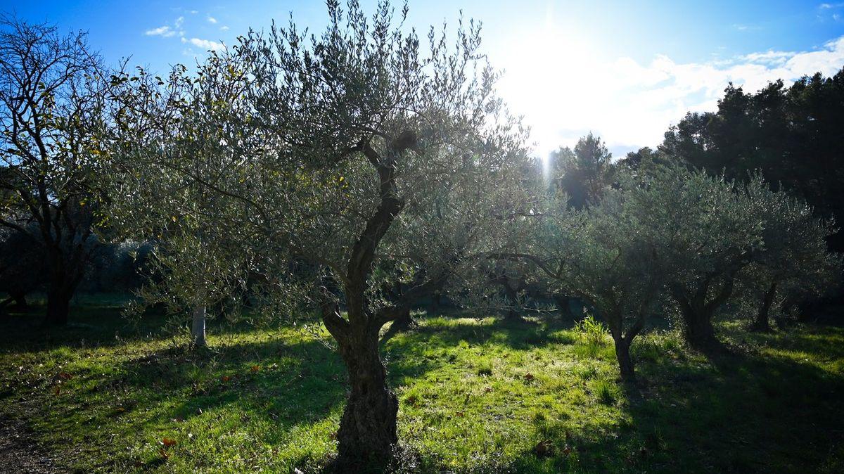 Zelený mor plení na jihu Francie ovocné stromy a levanduli