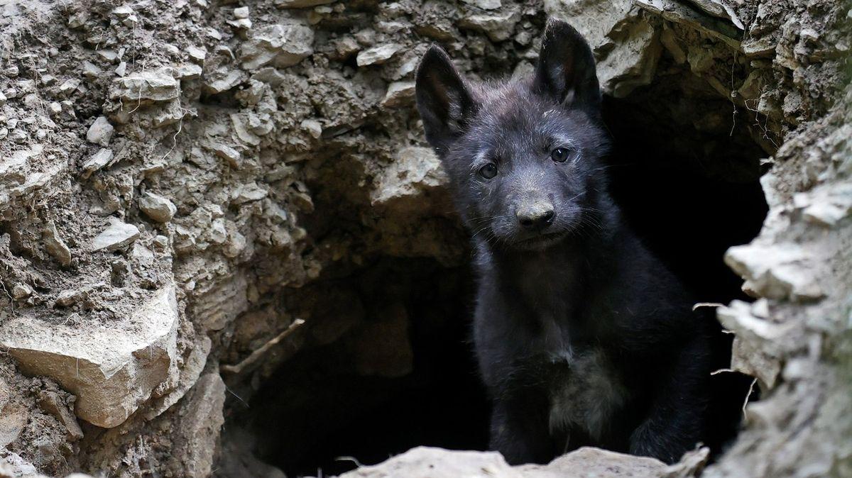 Našli vlese štěně, tak ho vzali ssebou. Ukázalo se, že je to vlk