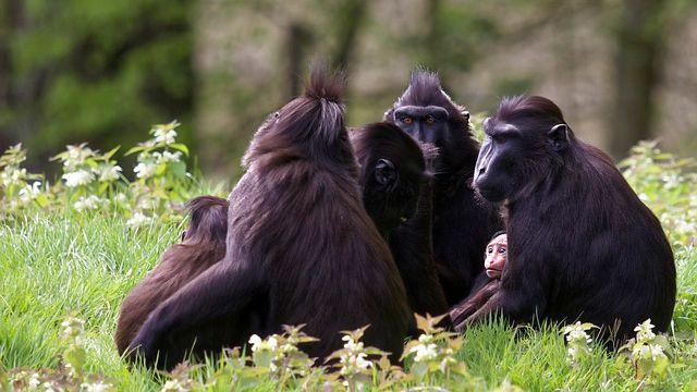 Zděčínské zoo utekl samec makaka chocholatého, může být nebezpečný