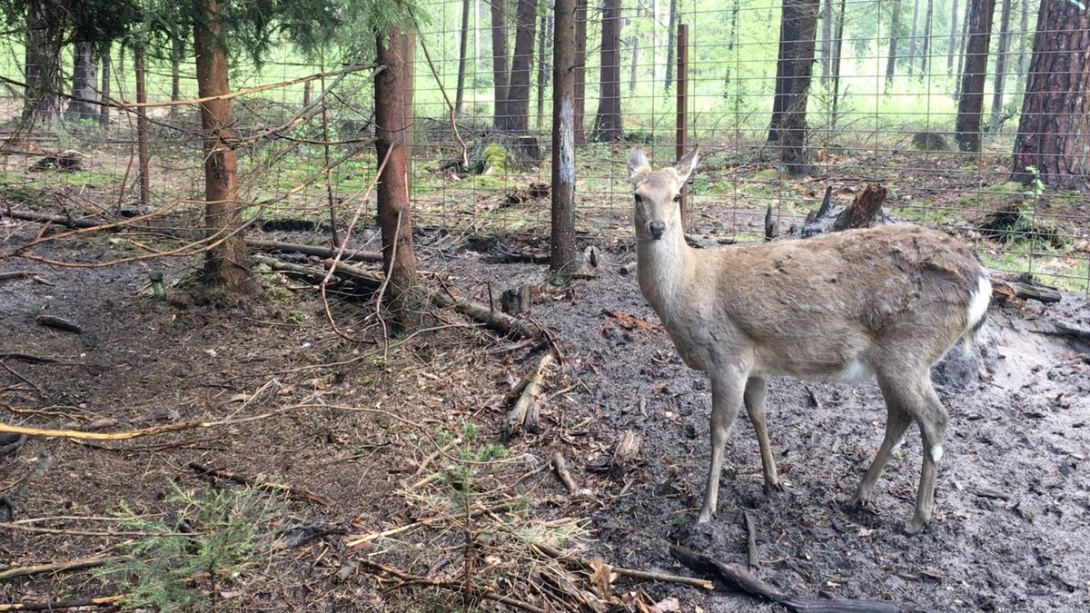 Myslivec zČeskokrumlovska tvrdí, že mu jelen odnesl zbraň