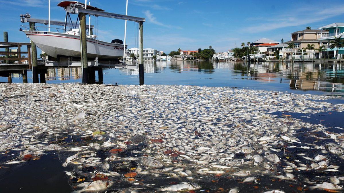 Rudý příliv na Floridě. Řasy mají na svědomí tuny mořských živočichů