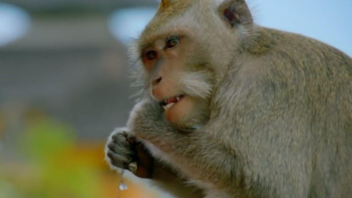 """Opice na Bali rozumí ekonomice. Pro lepší """"výkupné"""" kradou dražší věci"""