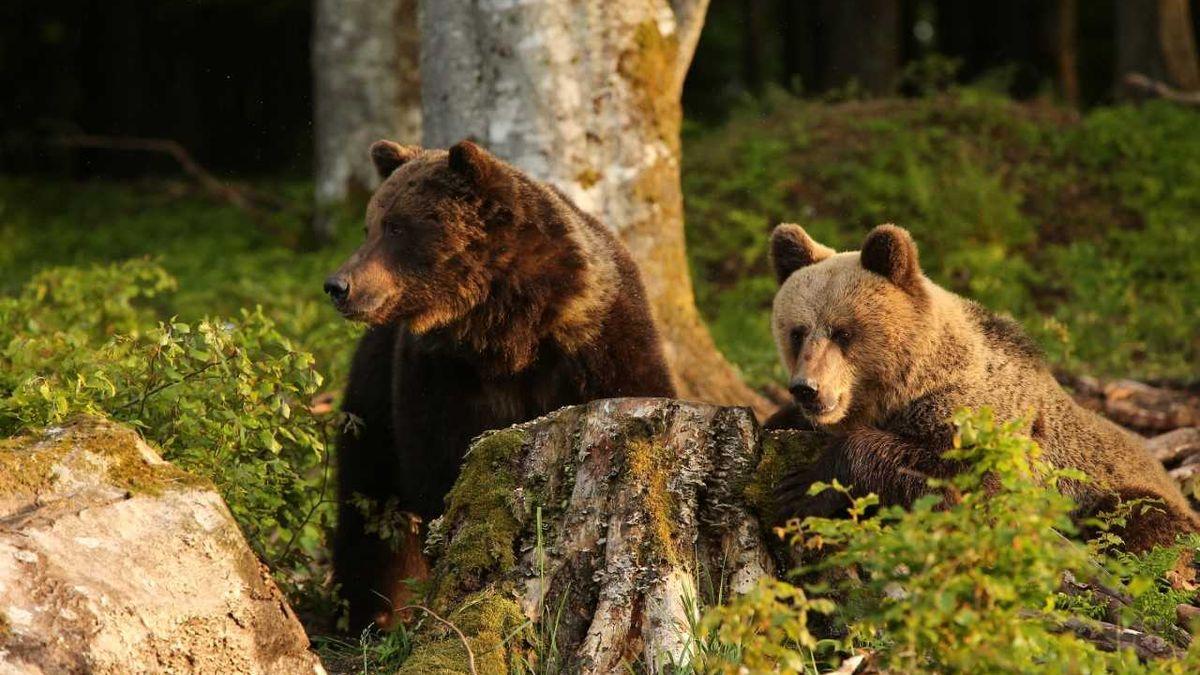 Útoků na lidi bude přibývat. Medvědi nemají kam jít, říká slovenský zoolog