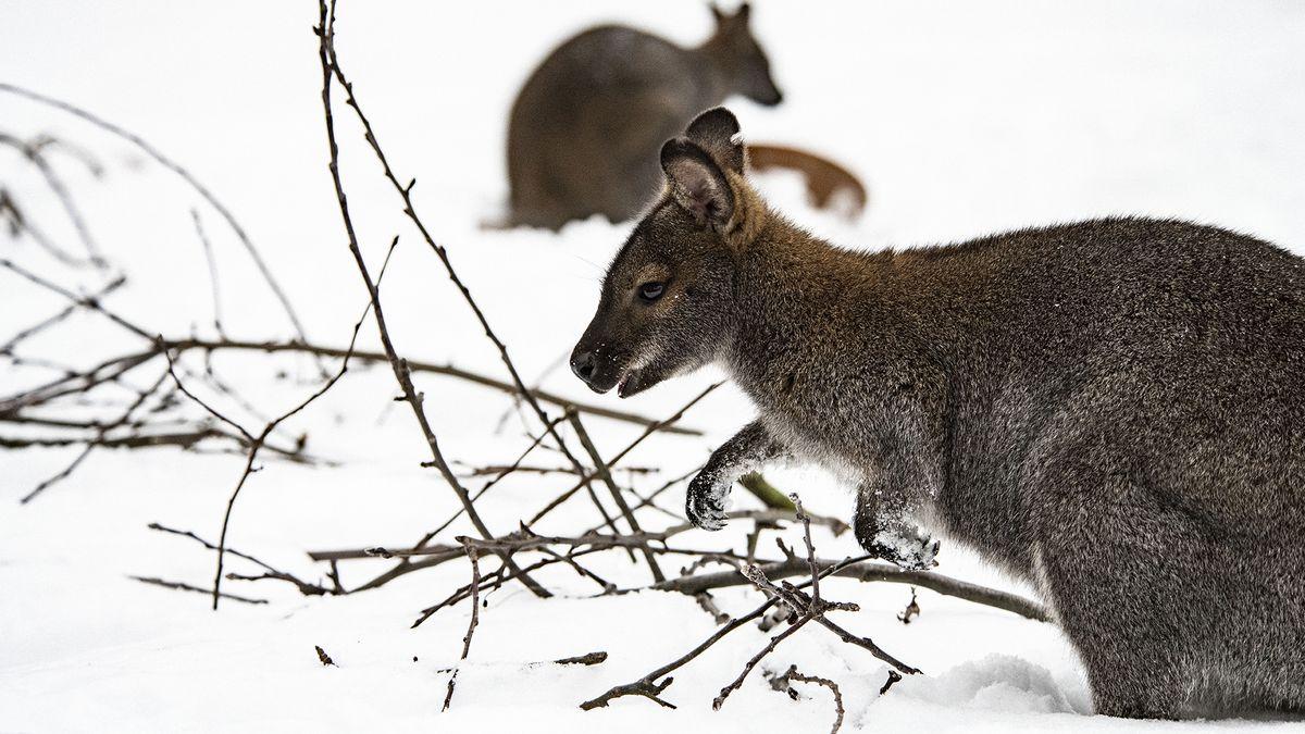 Návštěvníci Zoo Hodonín se mohou těšit ina mláďata klokanů obrovských