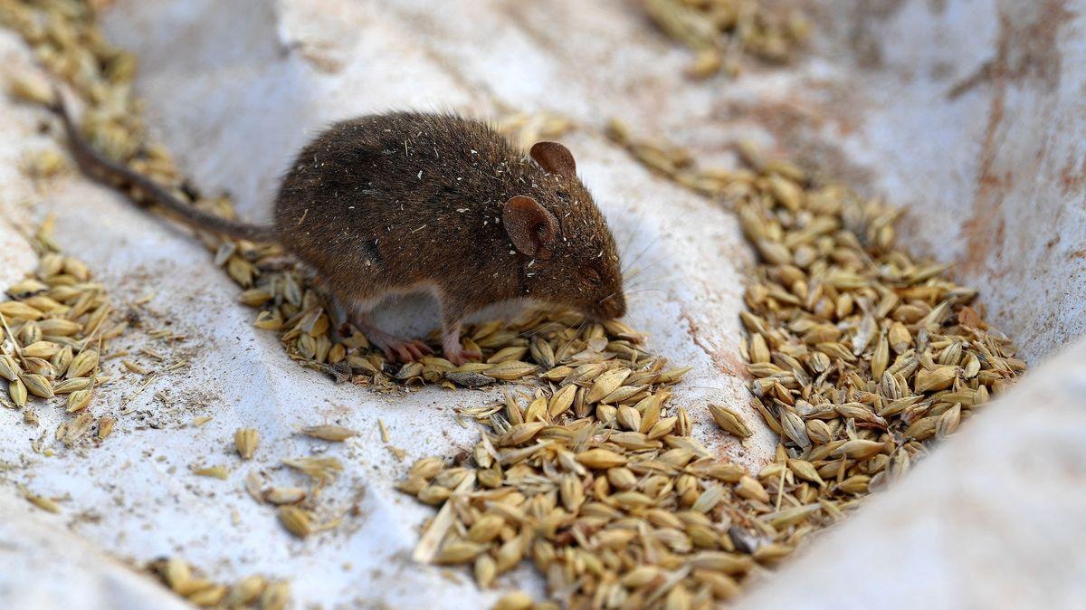 Austrálii trápí přemnožené myši a aktivní hadi. Museli evakuovat ivěznici