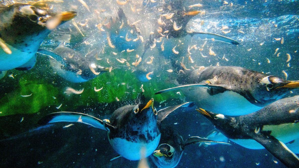Obrazem: Báječný svět tučňáků vuzavřené zoo